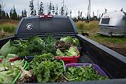LIVING OFF THE GRID<br /> The organic vegatable harvest.<br /> Anchor Point, Alaska, USA