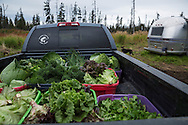 LIVING OFF THE GRID<br /> The organic vegatable harvest.<br /> Anchor Point, Alaska, USA