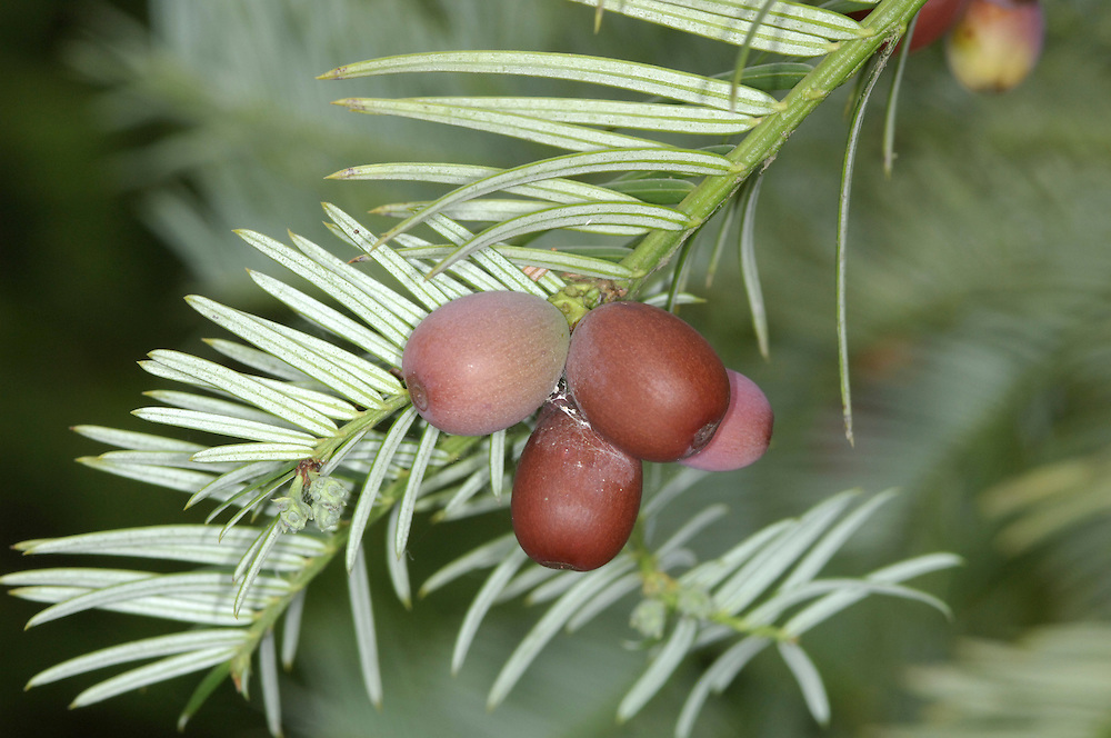 Chinese Plum Yew (Chinese Cow-tail Pine Cephalotaxus fortunei (Cephalotaxaceae) HEIGHT to 10m. Small, densely foliaged tree. Usually has a single bole but sometimes 2 or 3. BARK Reddish and peeling. BRANCHES Dense foliage can sometimes become so heavy that the branches sag. LEAVES Flattened needles, up to 10cm long greenish and glossy above with 2 pale bands on the underside; borne on either side of bright-green shoots. REPRODUCTIVE PARTS Yellowish or creamy male and female flowers appear on separate plants, opening in spring. Fruits are up to 2.5cm long and oval with fleshy, purple-brown skin. STATUS AND DISTRIBUTION Native of mountain forests in central and E China; sometimes grown as an ornamental garden tree.