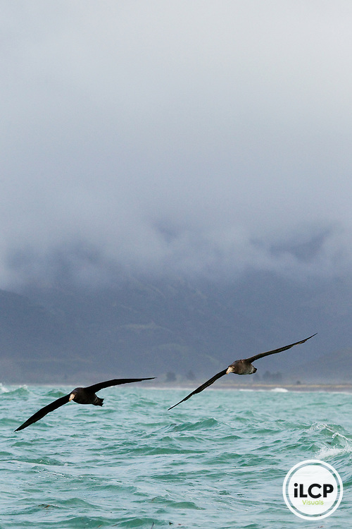 Northern Giant Petrel (Macronectes halli) pair flying near coast, Kaikoura, South Island, New Zealand