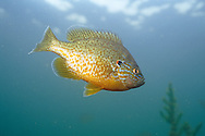 Pumpkinseed Sunfish<br /> <br /> ENGBRETSON UNDERWATER PHOTO