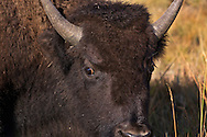 Young Bison - Yellowstone National Park