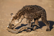 Eine junge T&uuml;pfely&auml;ne (Crocuta crocuta)  spielt mit dem Geh&ouml;rn eines Impalas im Schutzgebiet Tuli Block, Botswana<br /> <br /> A spotted hyena cub (Crocuta crocuta) is playing with the horns of an impala, private game reserve Tuli Block, Botswana