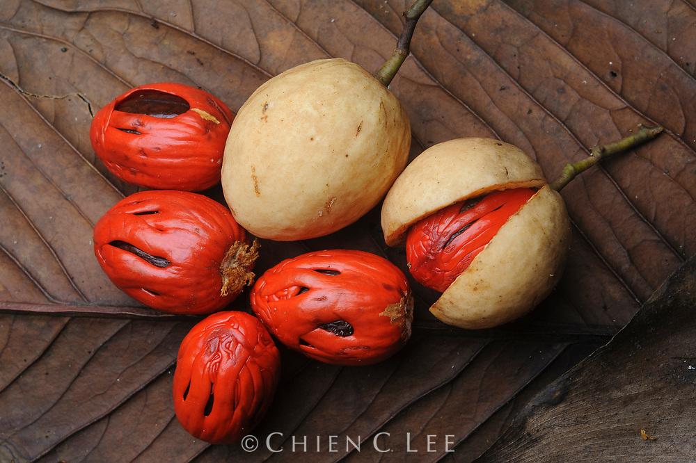 Wild Nutmeg (Myristica sp.), fruits. Sarawak, Malaysia.