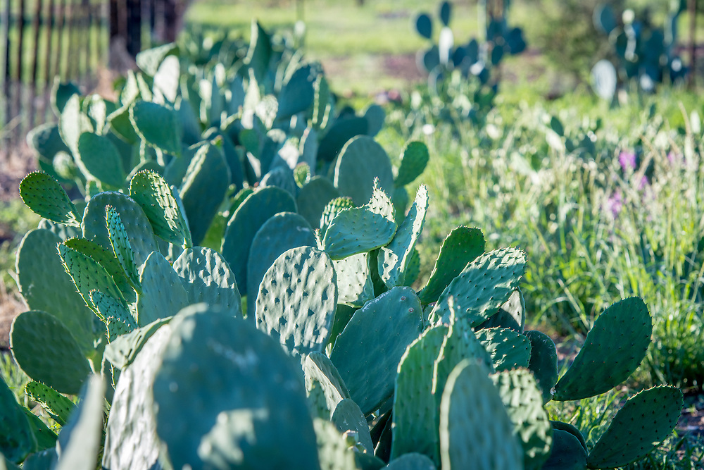 Opuntia cacti plants grow in the sunlight on Dabis Guest Farm in Helmeringhausen, southern Namibia, Africa.