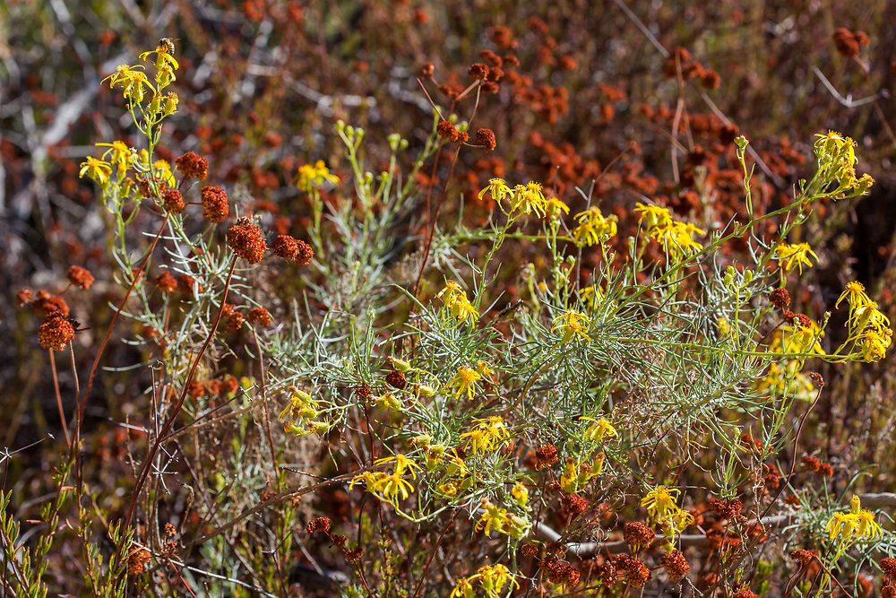 (Creek senecio and California buckwheat) at Grizzly Flat, Los Angeles Co, CA, USA, on 24-Sep-17