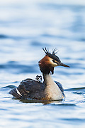 An Australasian Crested Grebe chick rides on the back of its parent, Lake Hayes, New Zealand