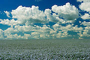 Flax and clouds<br /> Treherne<br /> Manitoba<br /> Canada