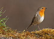 Robin (Erithacus rubecula), Spain.