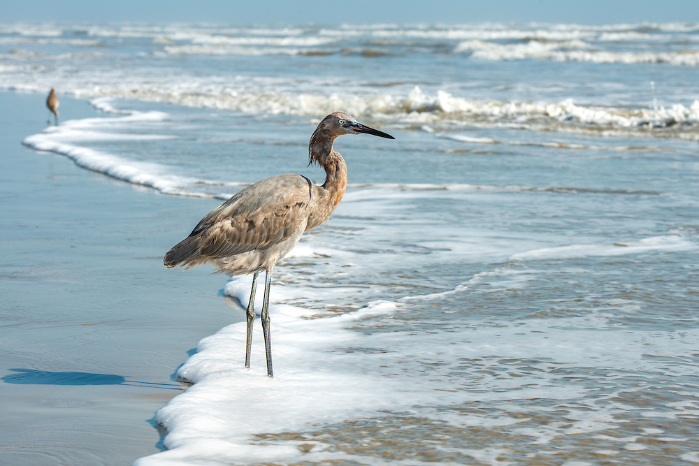 Blue Heron standing on the beach in Port Aransas, Texas.