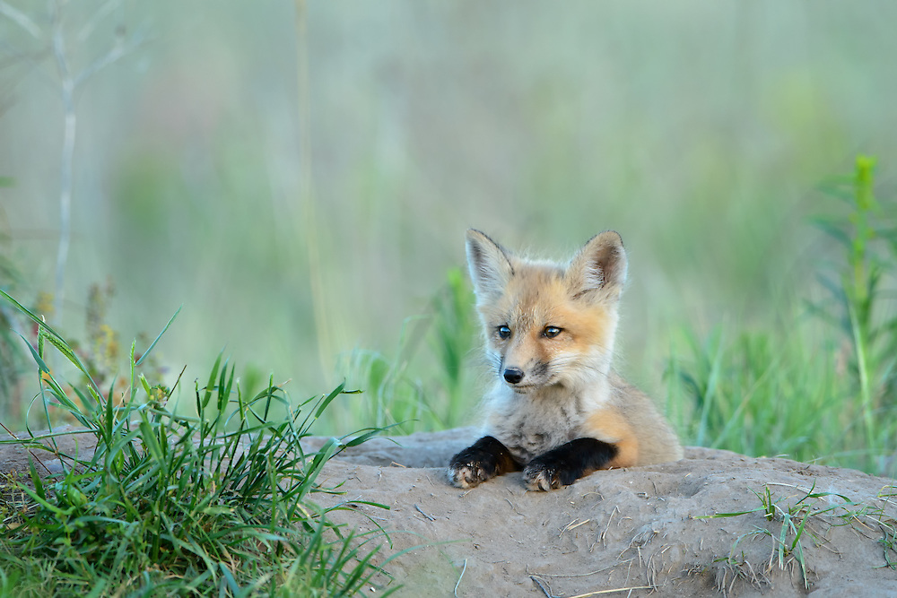 Red Fox Kit at a den site, Missoula, Montana