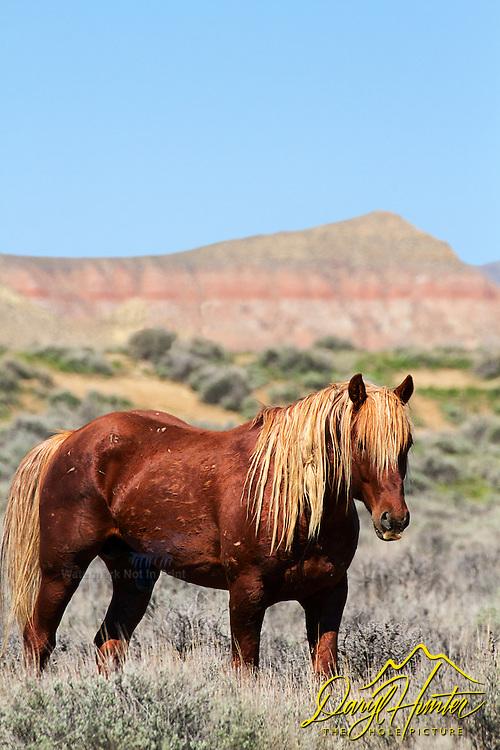 Chestnut Mustang Stallion, McCullough Peaks Mustangs, Cody Wyoming