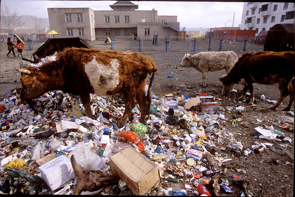 Life in the city is tough but slowly improving. Indeed, the free-range cows dumpster-diving in this parking lot are a perverse sign of affluence; Mongolians now have enough food to throw some away. Ulaanbaatar, Mongolia. (Supporting image from the project Hungry Planet: What the World Eats.)