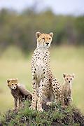 Cheetah<br /> Acinonyx jubatus<br /> Mother and 8 week old cub(s) on termite mound<br /> Maasai Mara Reserve, Kenya
