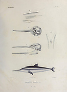hand coloured sketch of the La Plata dolphin, franciscana or toninha (Pontoporia blainvillei [Here as Delphinus blainvillei]) From the book 'Voyage dans l'Amérique Méridionale' [Journey to South America: (Brazil, the eastern republic of Uruguay, the Argentine Republic, Patagonia, the republic of Chile, the republic of Bolivia, the republic of Peru), executed during the years 1826 - 1833] 4th volume By: Orbigny, Alcide Dessalines d', d'Orbigny, 1802-1857; Montagne, Jean François Camille, 1784-1866; Martius, Karl Friedrich Philipp von, 1794-1868 Published Paris :Chez Pitois-Levrault et c.e ... ;1835-1847
