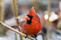 The Northern Cardinal Cardinalis cardinalis, is found from southern Canada through the eastern United States from Maine to Texas and south through Mexico to northern Guatemala and Belize. It is found in woodlands, gardens, shrublands, and swamps. Pictured here is the male.-----
