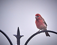House Finch. Image taken with a Nikon D5 camera and 600 mm f/4 mm VR lens (ISO 1600, 600 mm, f/5.6, 1/1250 sec)