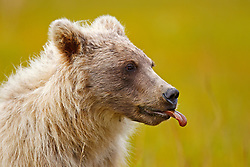 North American brown bear / coastal grizzly bear (Ursus arctos horribilis) cub sticks its tongue out, Lake Clark National Park, Alaska, United States of America