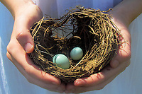 Girl holding robin's nest with 2 eggs