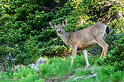 A mule deer emerges from the bushes to forage in the early morning in an alpine meadow.