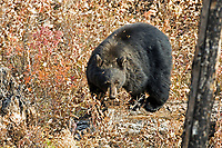 An American Black Bear stands on a log feeding its way through the woods.