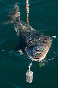 En h&auml;lleflundra p&aring; kroken.<br /> <br /> Fiske med kapten Niklas Ranta i Seward, Alaska<br /> <br /> Photographer: Christina Sjogren<br /> <br /> Copyright 2018, All Rights Reserved