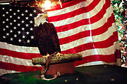 Bald Eagle on display in front of an American flag at the Monmouth County Fair, 1999.