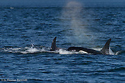 Transient Killer Whales surface as they head north in Puget Sound.