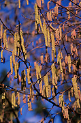 A87CX8 Silver Birch tree with catkins