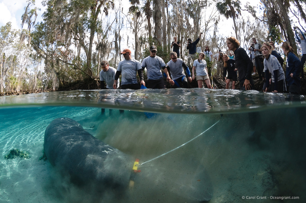 Florida manatee, Trichechus manatus latirostris, a subspecies of the West Indian manatee, endangered. February 16, 2011, CC the manatee is released for a third time. Orphaned as a small 55 pound manatee in 2006, CC goes through three releases and is rescued a few times before he is to be considred a successful release back into the wild. CC is released with a brand and tracking buoy. Right after CC swims out of the stretcher he becomes a little disoriented. Horizontal orientation split image with personnel who helped release him from USFWS, United States Fish and Wildlife Services, USGS, United States Geological Survey, Lowry Park Zoo and Sea to Shore Alliance, etc. Three Sisters Springs, Crystal River National Wildlife Refuge, Kings Bay, Crystal River, Citrus County, Florida USA.