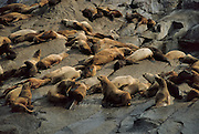 Stellar Sea Lions, Sea Lion, Chiswell Islands, Alaska