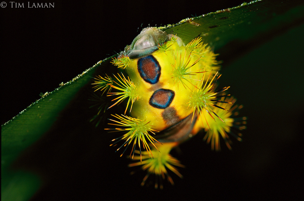 A spiky caterpillar, family Limacodidae, eating a ginger leaf.