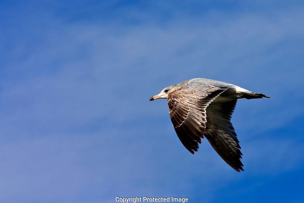 California Gull Salton Sea California