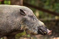 Profile image of a Bornean bearded pig (Sus barbatus), with bananas in its mouth (taken from a supplemental ranger feeding for orangutans)  in Tanjung Puting National Park, Borneo, Indonesia.