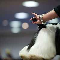 A dog handler outstretches her dog's tail for the attention of the a judge during the ASC Flushing Spaniel Show at the Valley Forge Convention Center in King of Prussia, Pennsylvania, USA.  The annual contest is among the largest dog shows in the country and all important for spaniels, honouring the finest dog within the 12 breeds, the coveted best in show award.