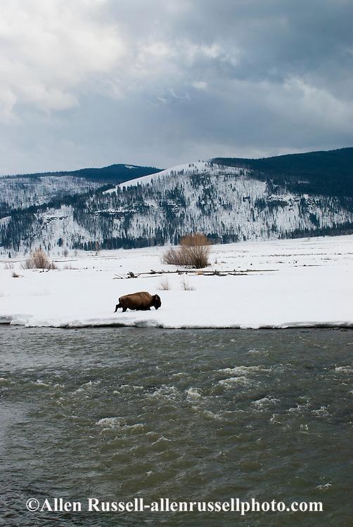 Bison, Bull, bison bison, Yellowstone National Park, Lamar Valley, Lamar River, Montana