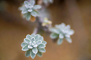Soft focus of a the leaves of a succulent plant