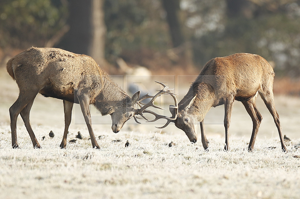 © Licensed to London News Pictures. 31/01/2019. London, UK. Young stands lock antlers amongst the frozen grass in Richmond Park after a night of below zero temperatures. More snow is expected in the south overnight tonight. Photo credit: Peter Macdiarmid/LNP
