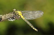 Club-tailed Dragonfly - Gomphus vulgatissimus