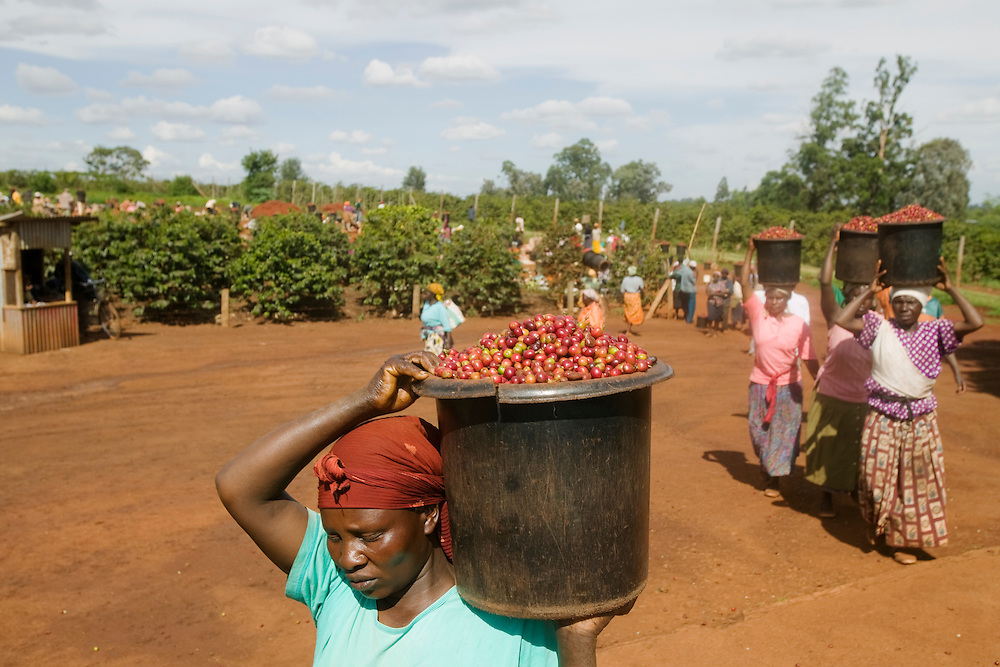 Africa, Kenya, Ruira, Coffee picker carries bucket of  Arabica coffee beans at Oakland Estates coffee plantation