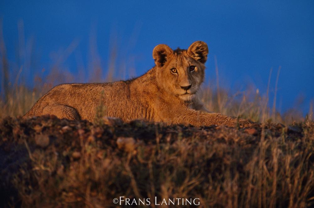 Lion cub resting, Panthera leo, Masai Mara Reserve, Kenya