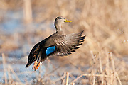 American Black Duck, Anas rubripes, Shiawassee NWR, Saginaw County, Michigan