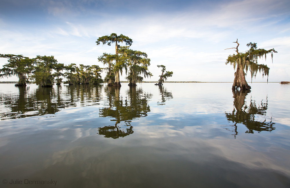 Cypress trees in Lake Fausse Pointe.