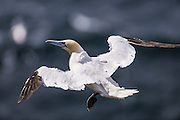 Orkney has three Gannet colonies with the remote Sule Stack the largest with 5000 pairs but its possible to get close up views of these big seabirds at Noup Head on Westray where 600 pairs now share the cliffs with Guillemots and Kittiwakes.