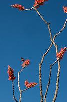Ocotillo blossom at Big Bend National Park, Texas ( Fouquieria splendens).