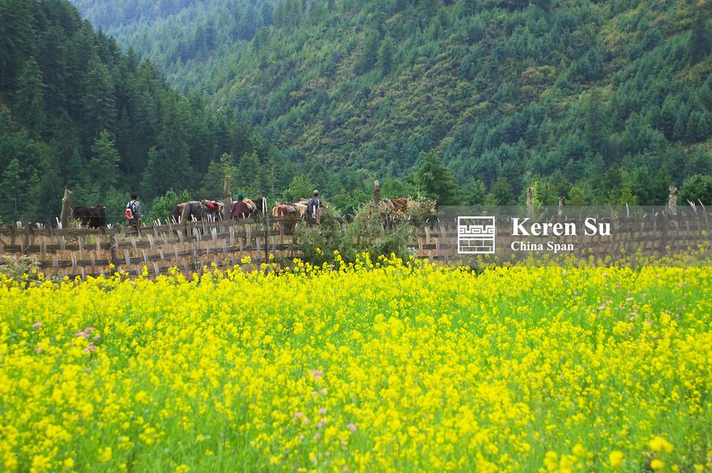 Farmland of canola, Bumthang, Bhutan