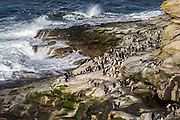 A large group of Rockhopper penguins (Eudyptes chrysocome) at their coastal landing spot with wave crashing onto rocks, Saunders Island, Falkland Islands...Once coming ashore, penguins will pause for some time whilst they cool off, before heading uphill to their rookery.