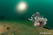 red lionfish, firefish, turkeyfish or butterfly cod, Pterois volitans, on the wreck of a 100 m long American LST ( Landing Ship - Tank ) sunk at the end of WWII. The wreck sits upright at a depth of 28-35 m of water in Ilanin Bay, within Subic Bay, Philippines, MR 378