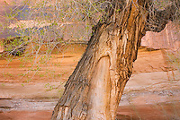 Cottonwood tree in Horseshoe Canyon, Canyonlands National Park Utah