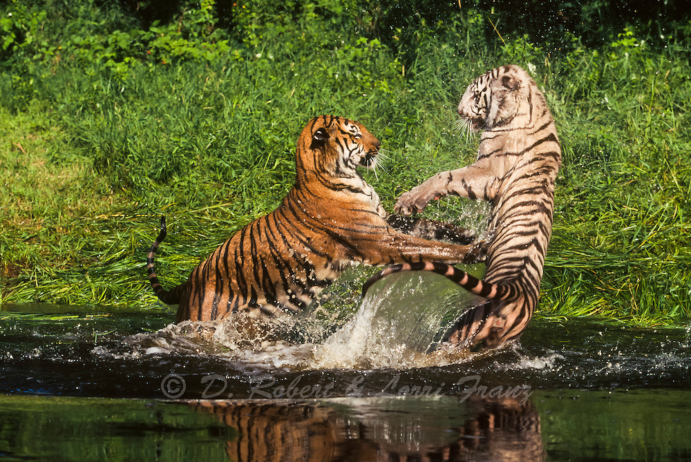 Bengal tigers fighting in river